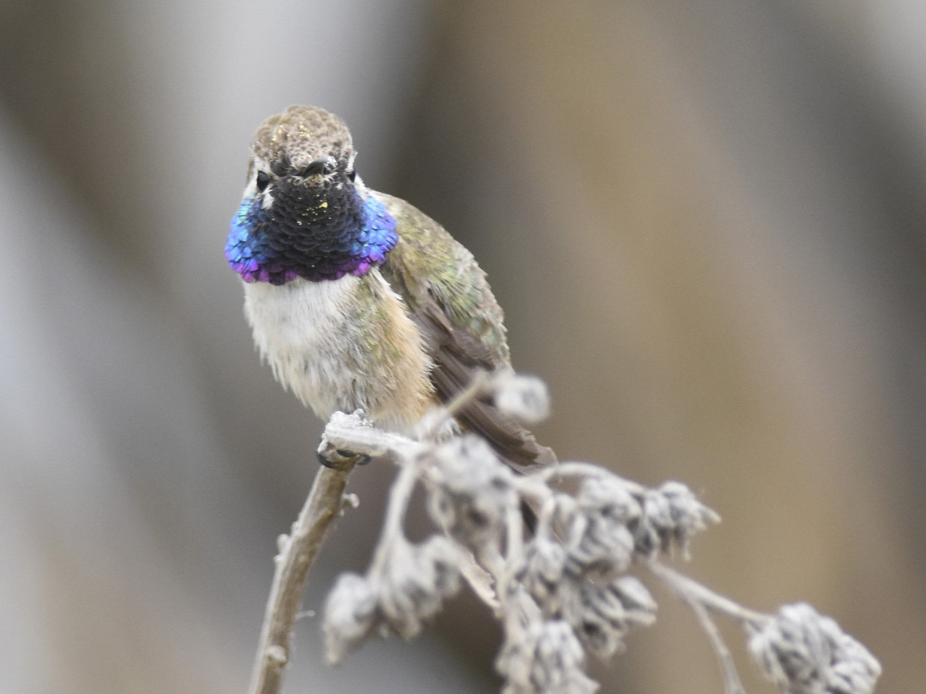 Purple-collared Woodstar - Juan José Chalco Luna