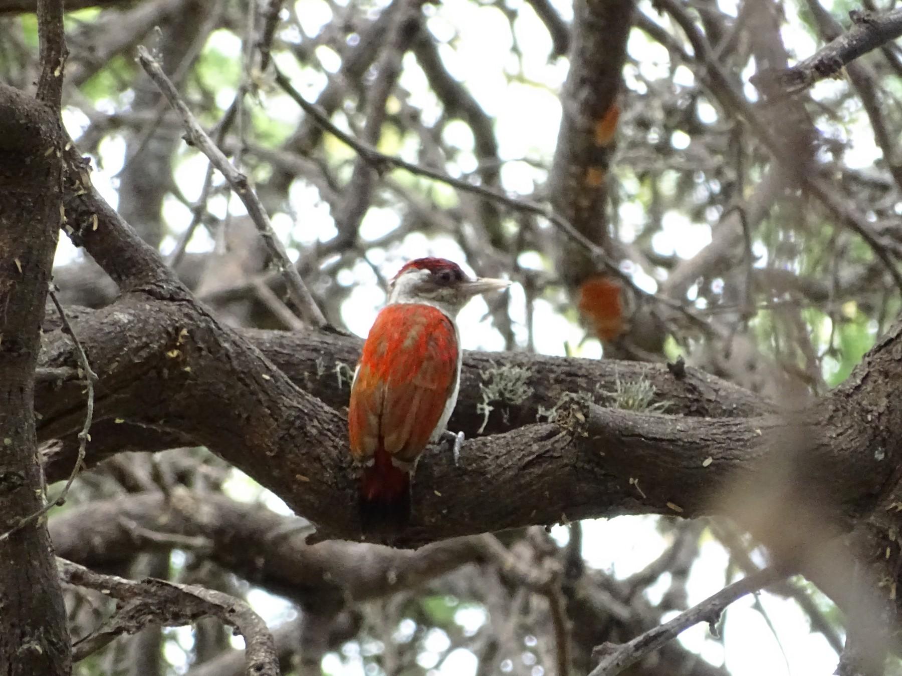 Scarlet-backed Woodpecker - Yasmin Cerrud Henríquez