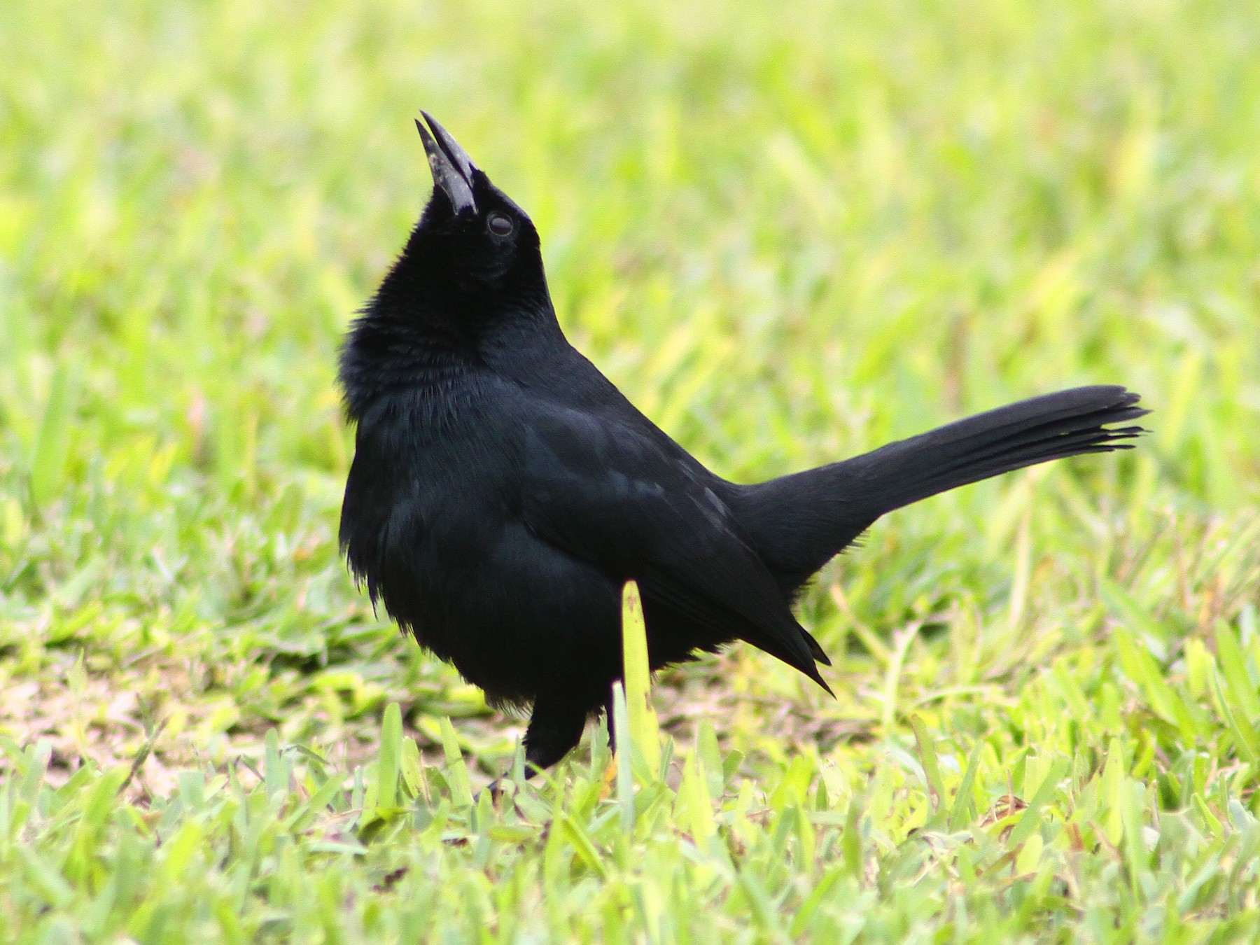 Scrub Blackbird - Steven Sevillano