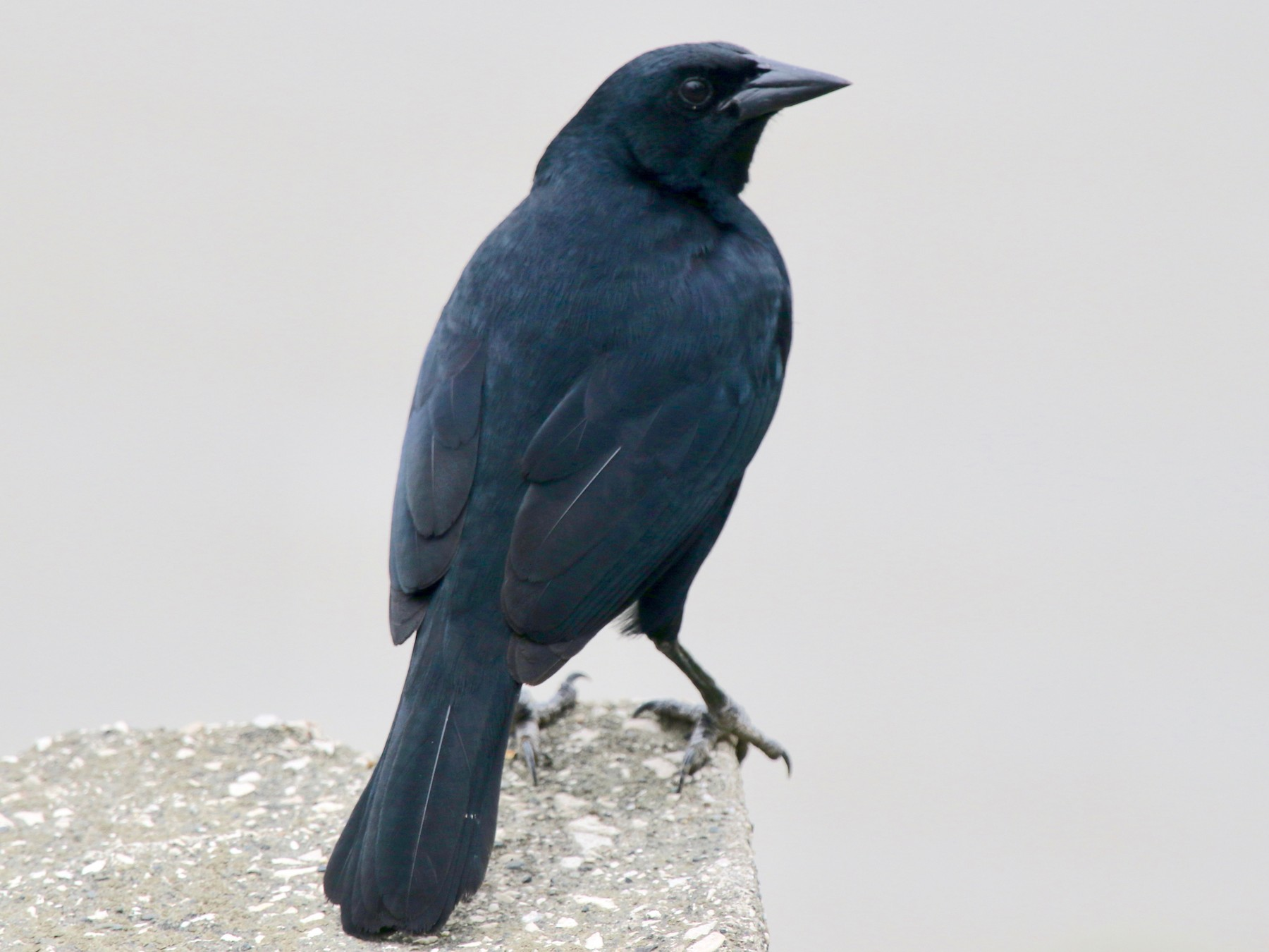 Scrub Blackbird - Gil Ewing