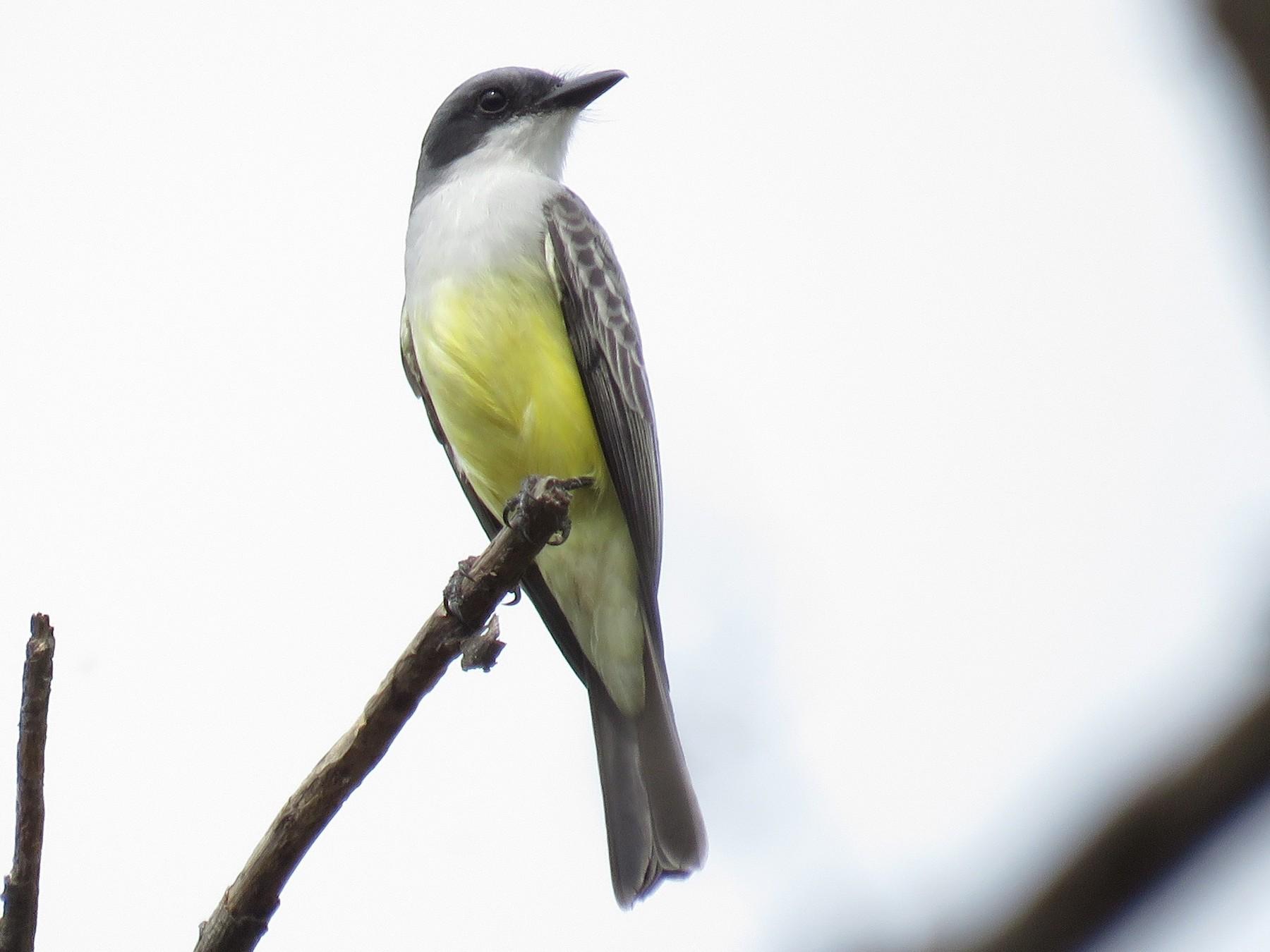 Snowy-throated Kingbird - Miguel  Alvan