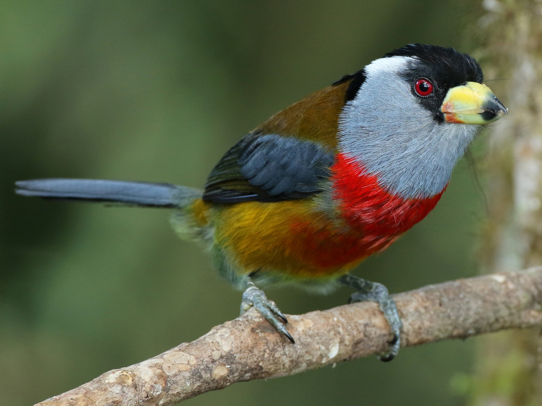 Toucan Barbet - Luke Seitz