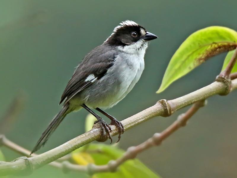 White-winged Brushfinch - Roger Ahlman