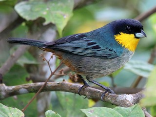 - Yellow-throated Tanager