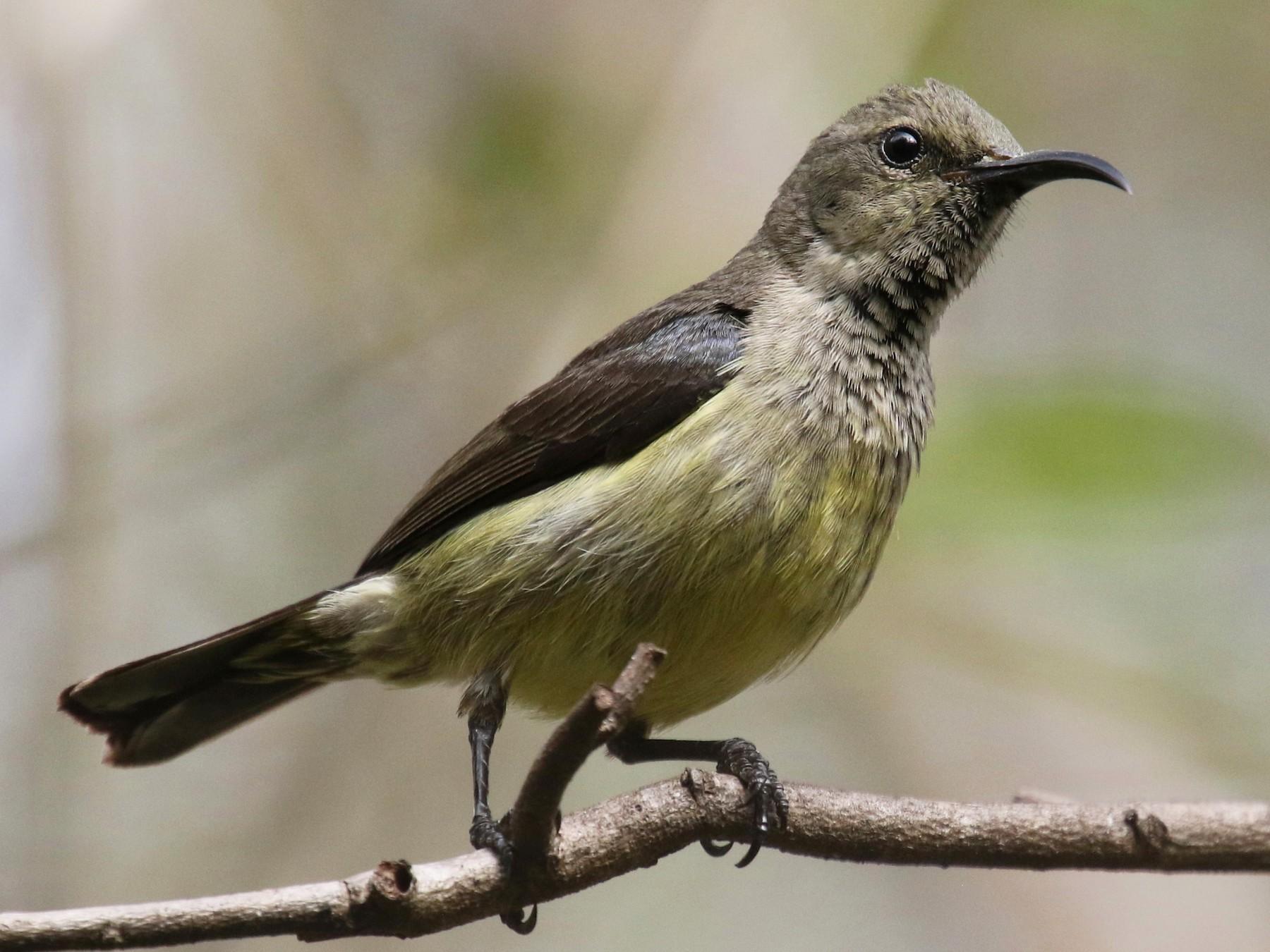 Souimanga Sunbird - Stephen Gast