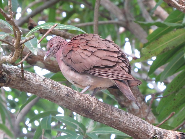 Madagascar Turtle-Dove