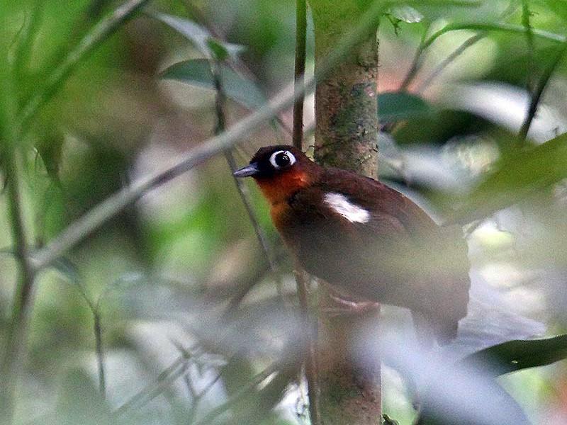 Rufous-throated Antbird - Martin Reid