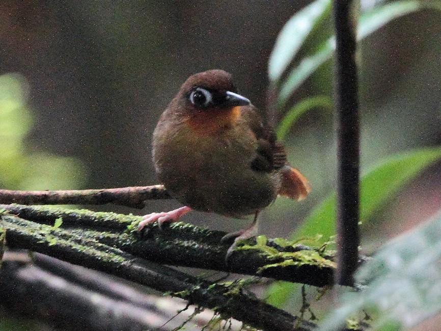 Rufous-throated Antbird - Lorenzo Calcaño