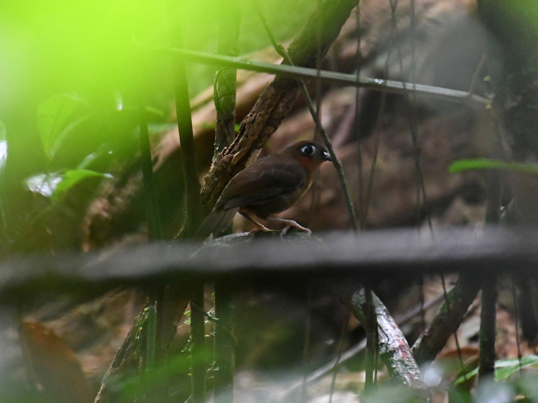 Rufous-throated Antbird - Hichem Machouk