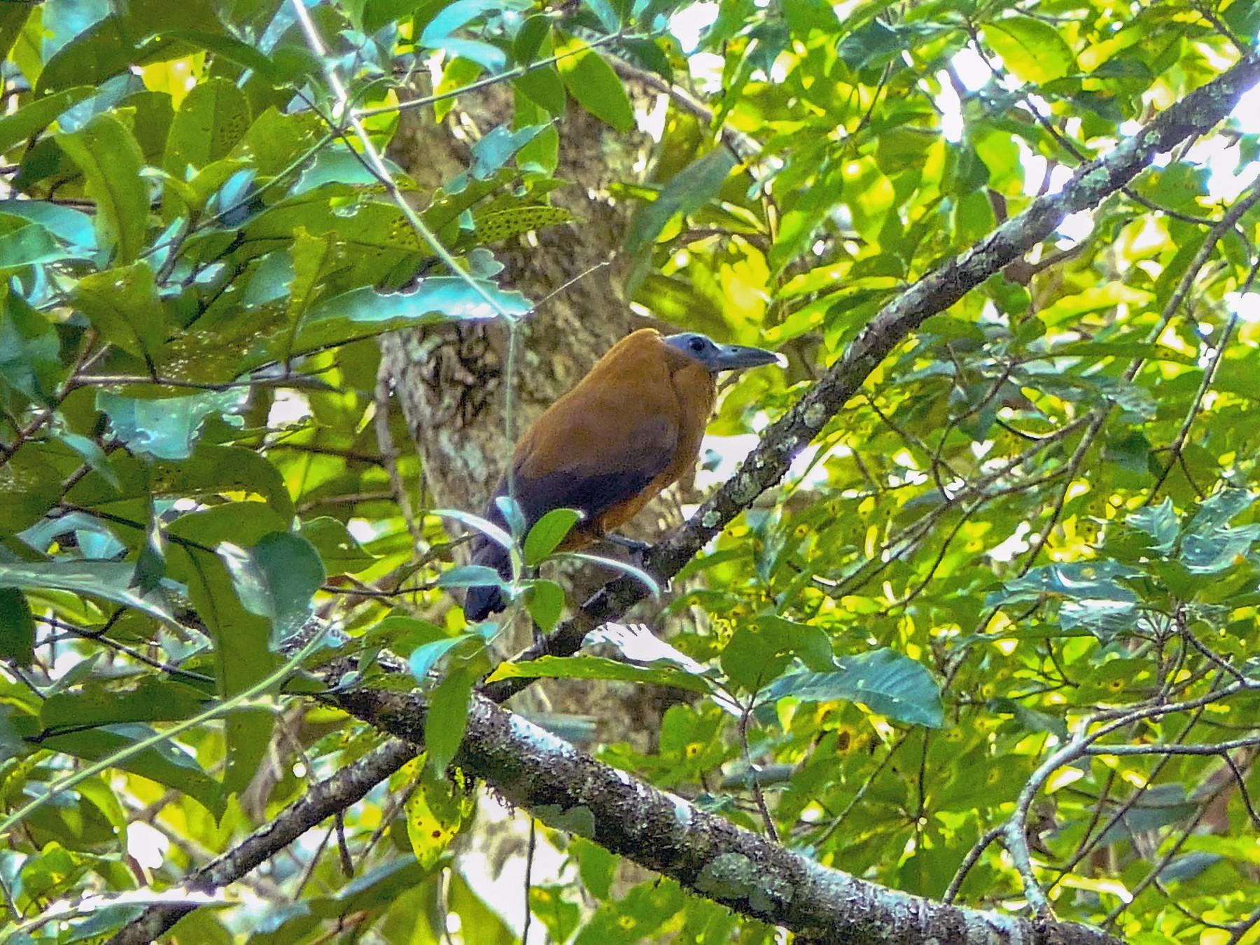 Capuchinbird - Randall Siebert