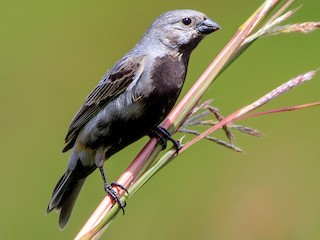 - Black-bellied Seedeater