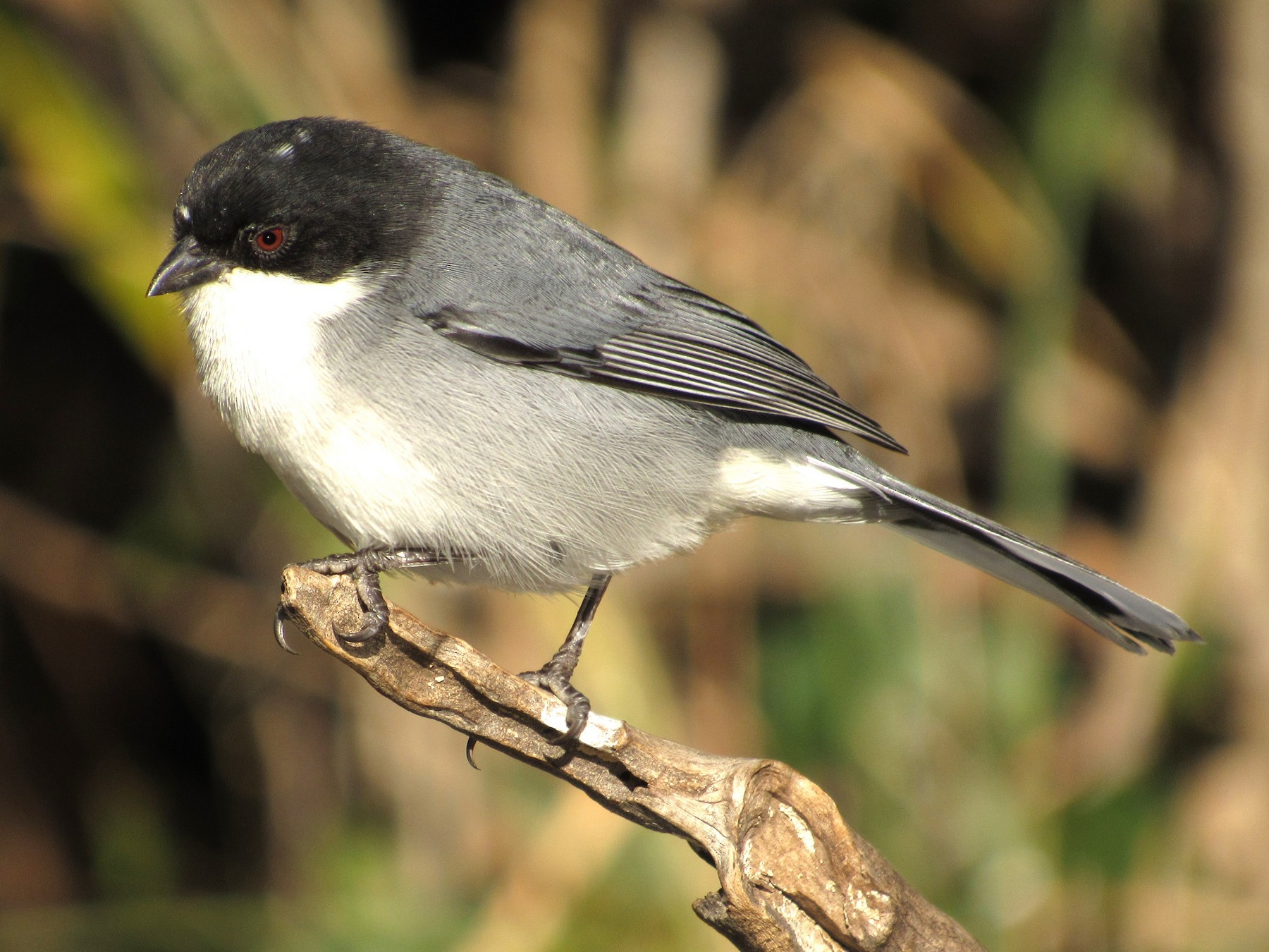 Black-capped Warbling-Finch - samuel olivieri bornand