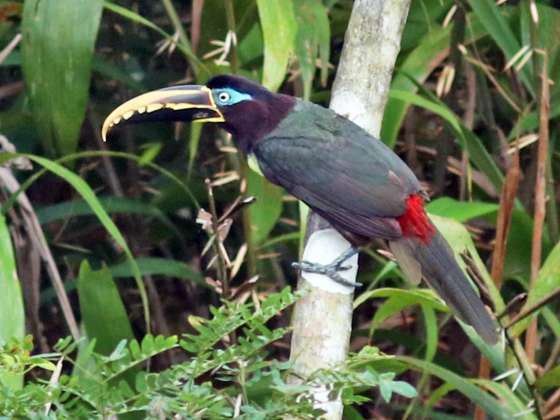 Chestnut-eared Aracari - Andre Moncrieff