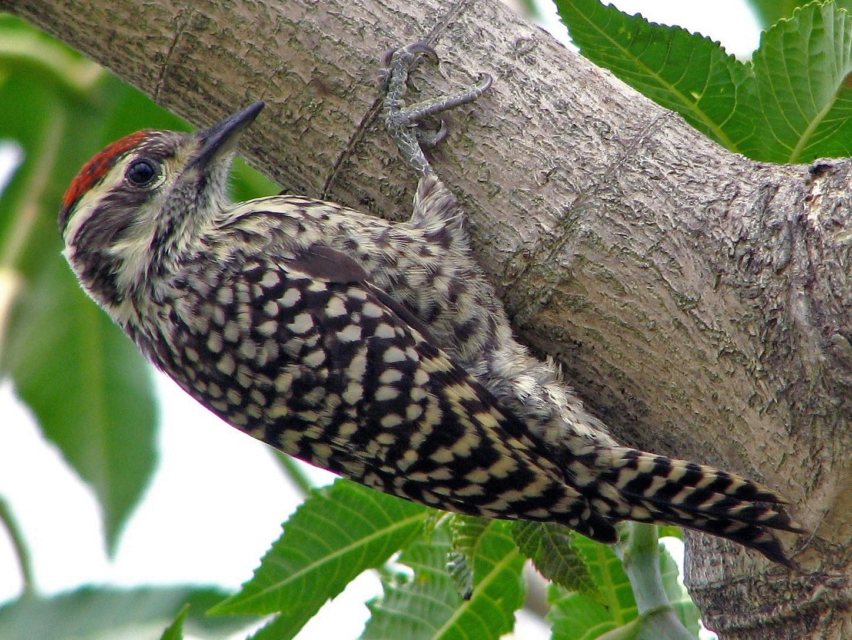 Checkered Woodpecker - Hugo Hulsberg