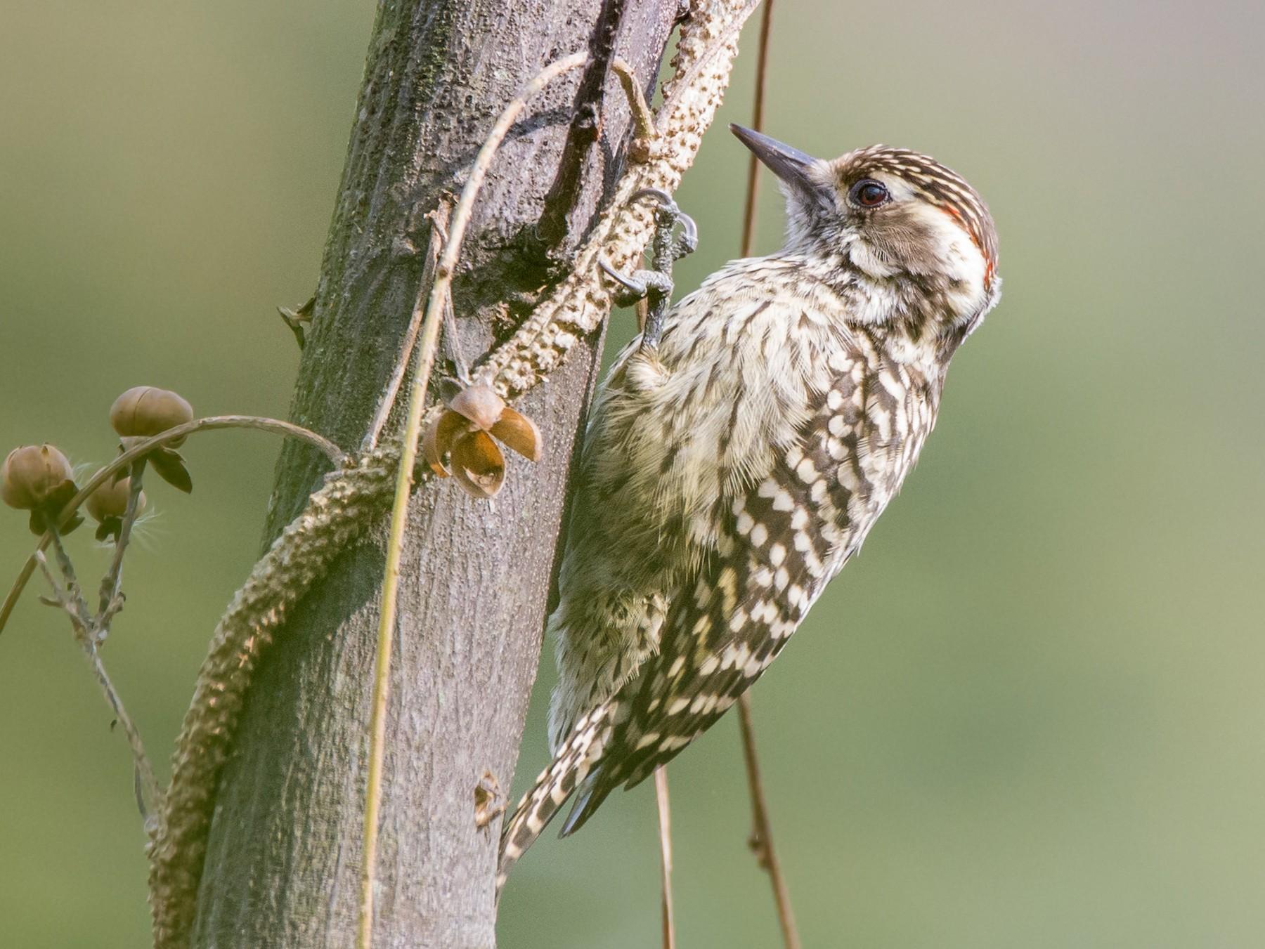 Checkered Woodpecker - Mariano  Ordoñez