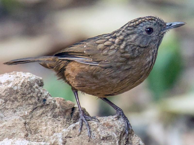 Streaked Wren-Babbler - Wich'yanan (Jay) Limparungpatthanakij