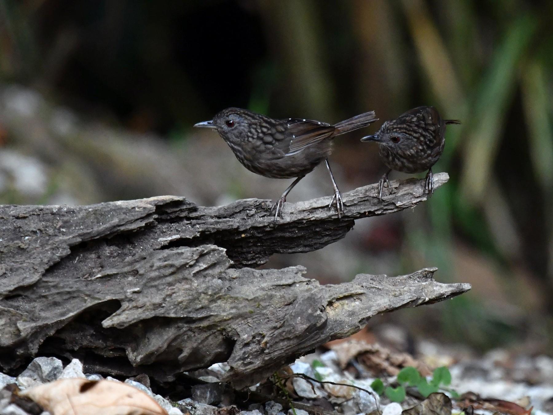 Streaked Wren-Babbler - Pattaraporn Vangtal