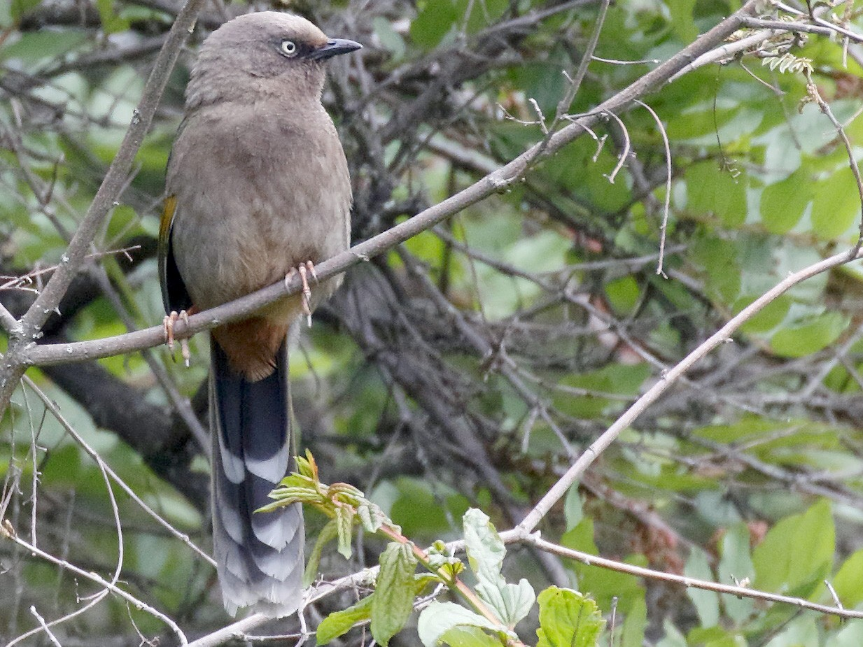 Elliot's Laughingthrush - Dave Curtis