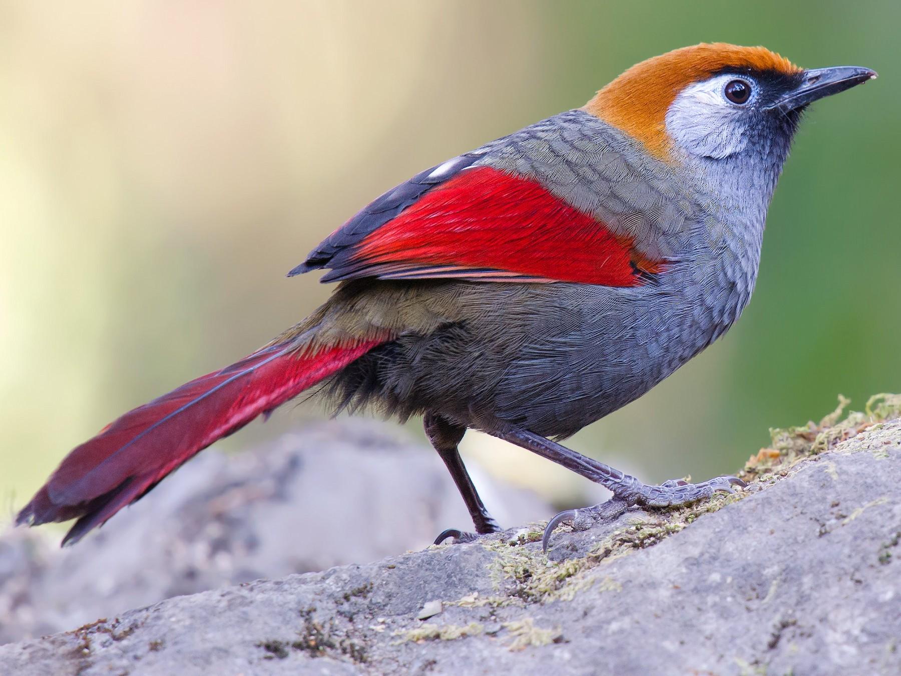 Red-tailed Laughingthrush - Craig Brelsford