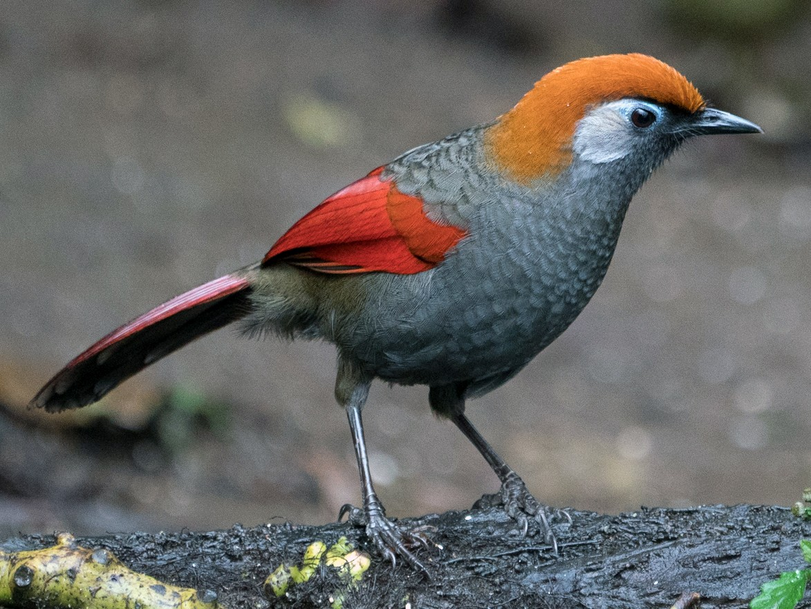 Red-tailed Laughingthrush - Sonja Ross