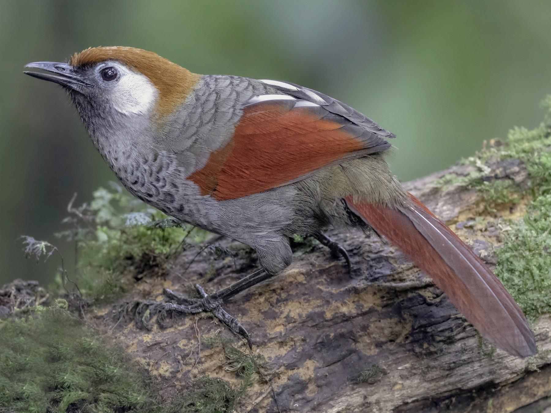 Red-tailed Laughingthrush - Sriram Reddy