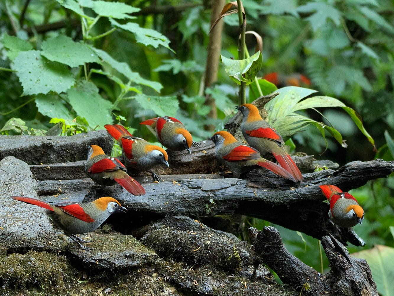 Red-tailed Laughingthrush - Ayuwat Jearwattanakanok