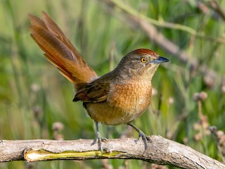 - Freckle-breasted Thornbird