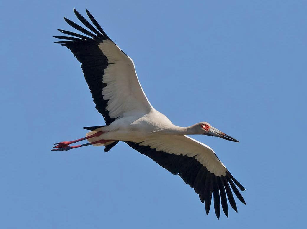 Maguari Stork - Ricardo A.  Palonsky