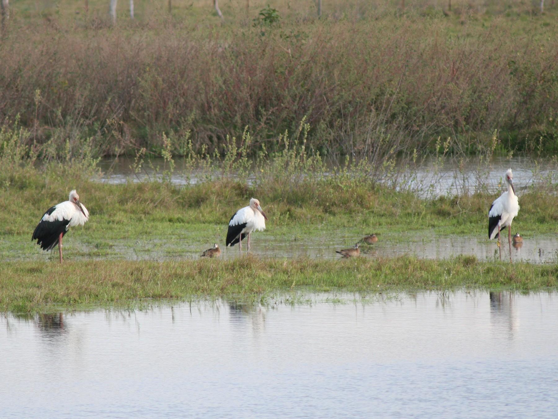 Maguari Stork - John Drummond