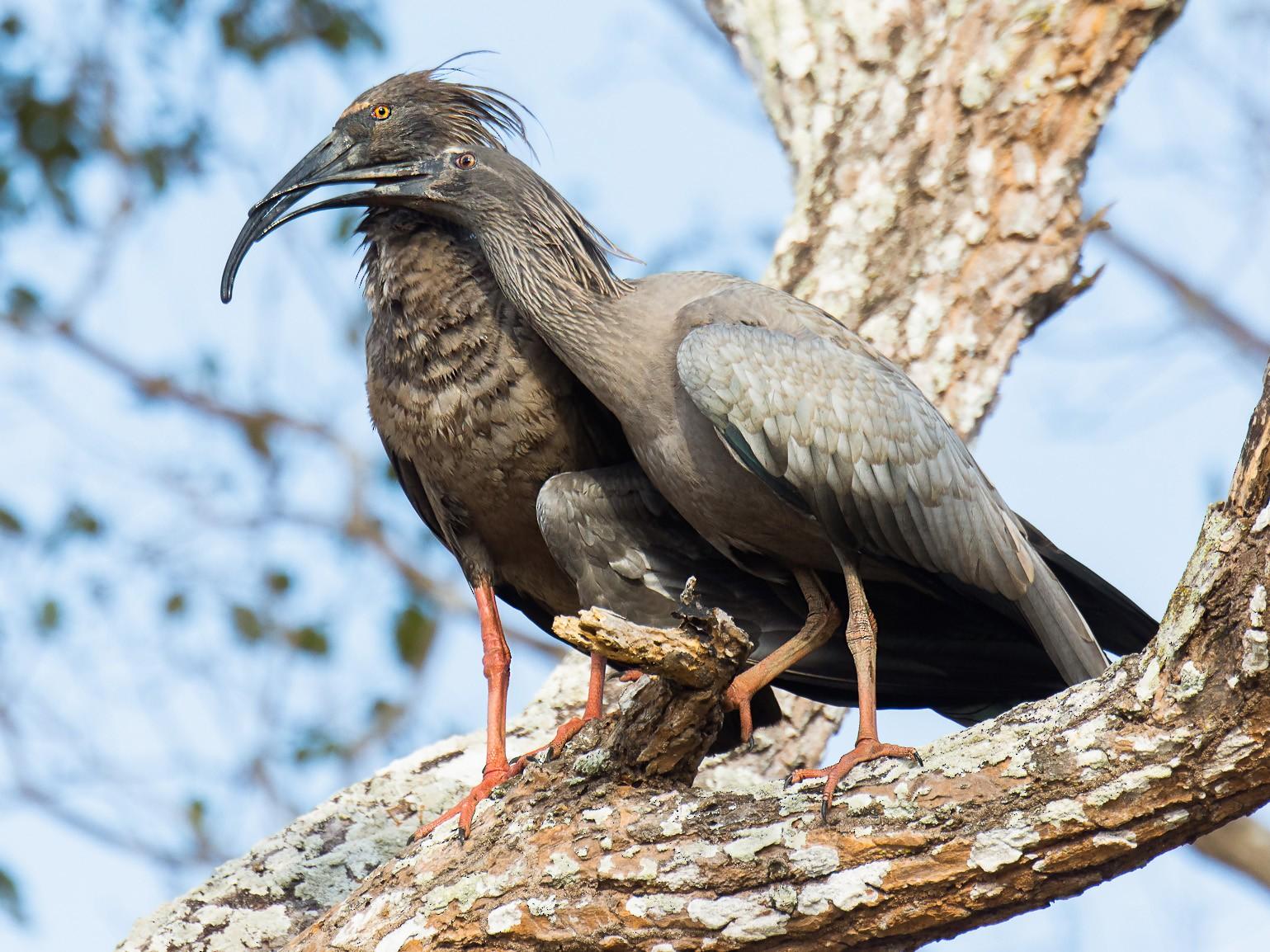 Plumbeous Ibis - George Pagos