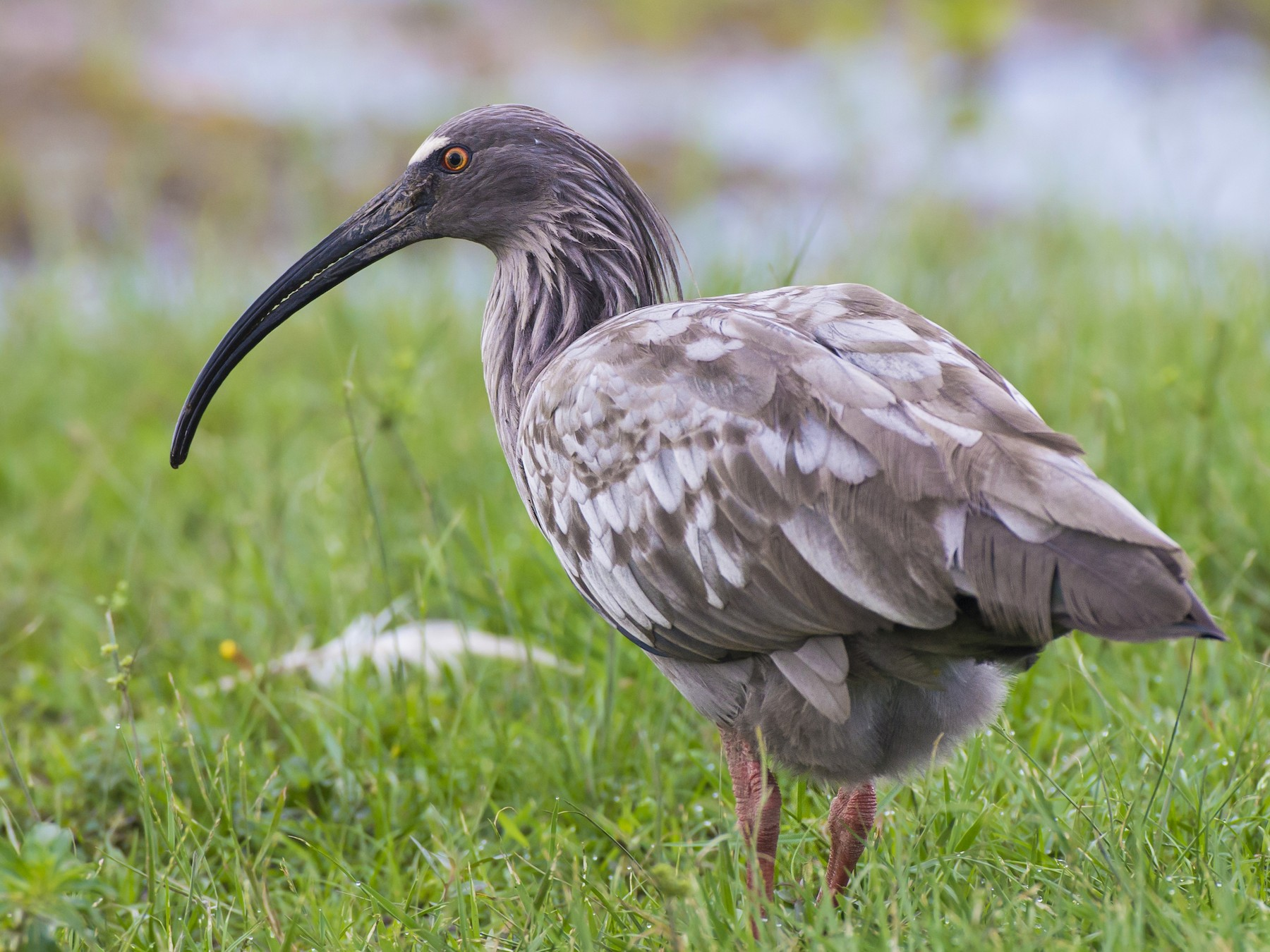 Plumbeous Ibis - Lucas Klassmann
