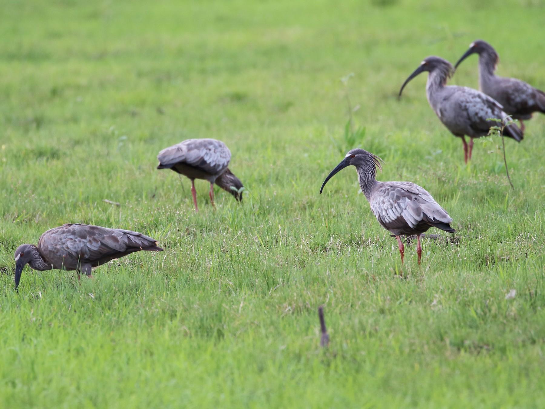 Plumbeous Ibis - Ignasi Torre