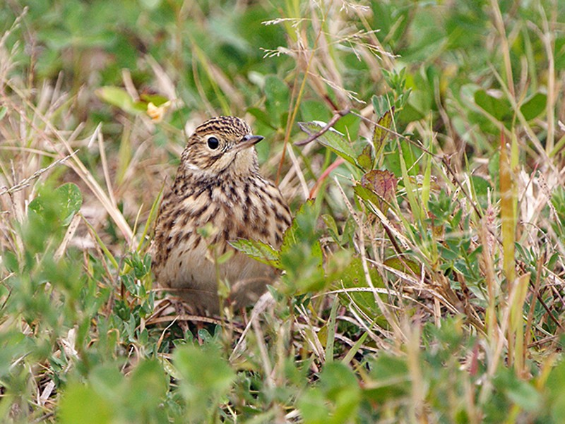 Short-billed Pipit - Silvia Vitale