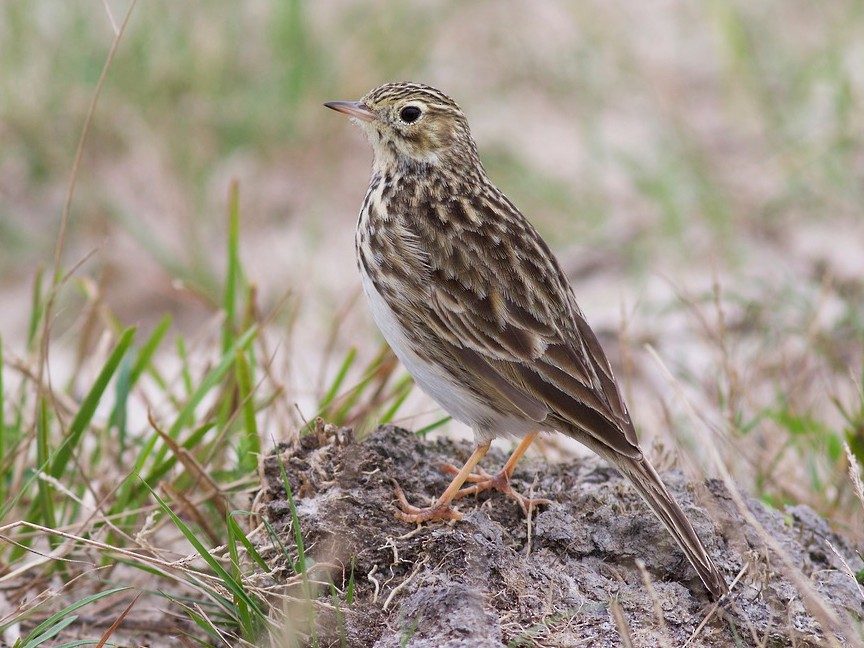 Short-billed Pipit - Luiz Matos