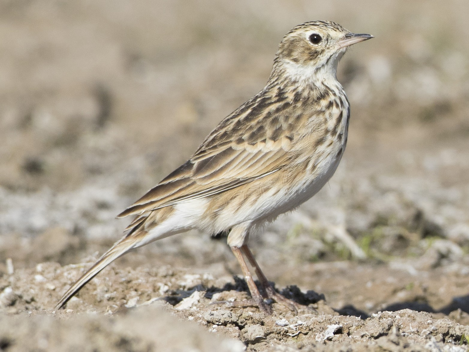 Short-billed Pipit - Brian Sullivan