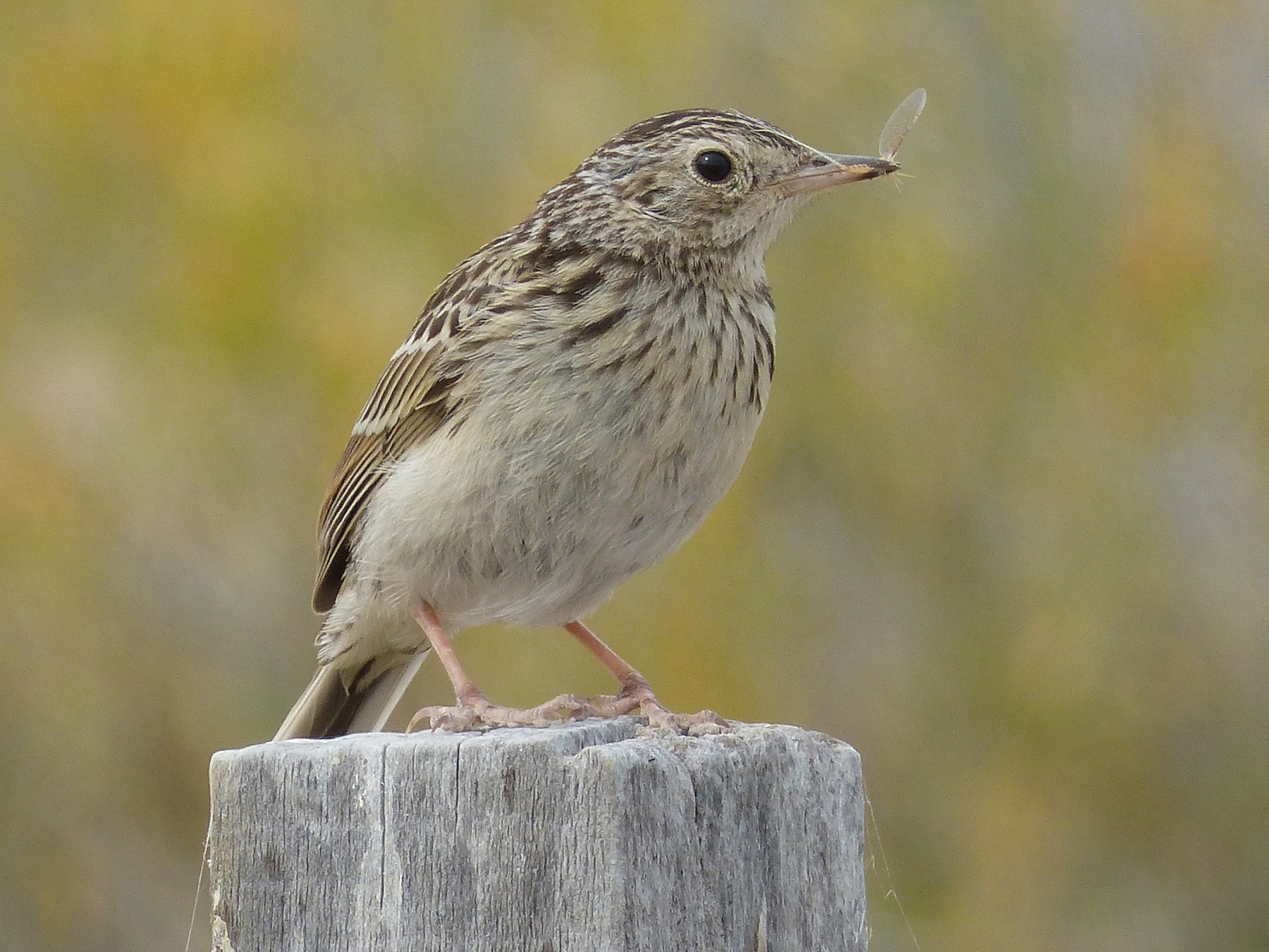 Short-billed Pipit - Martin Toledo