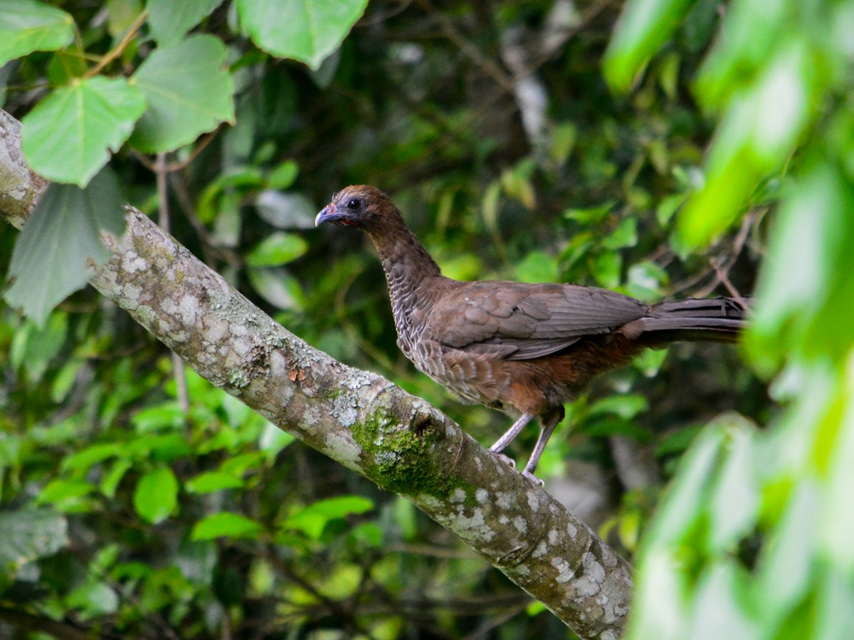 Scaled Chachalaca - João Gava Just