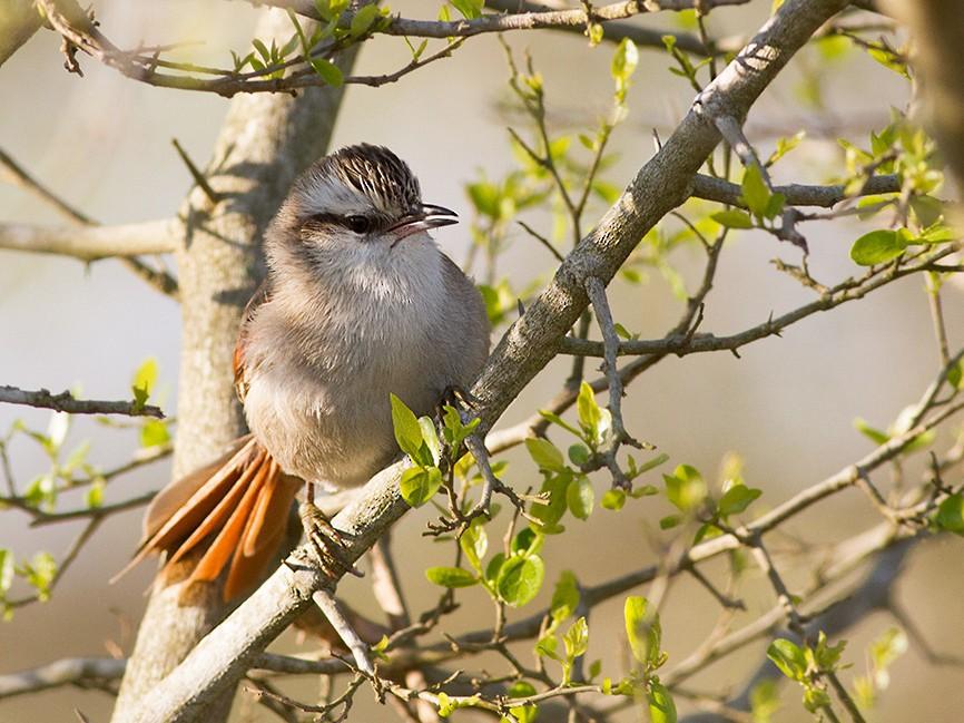 Stripe-crowned Spinetail - Diego Oscar / Sandpiper Birding & Tours