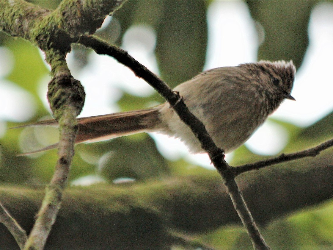 Striolated Tit-Spinetail - CLAUDIO FILHO