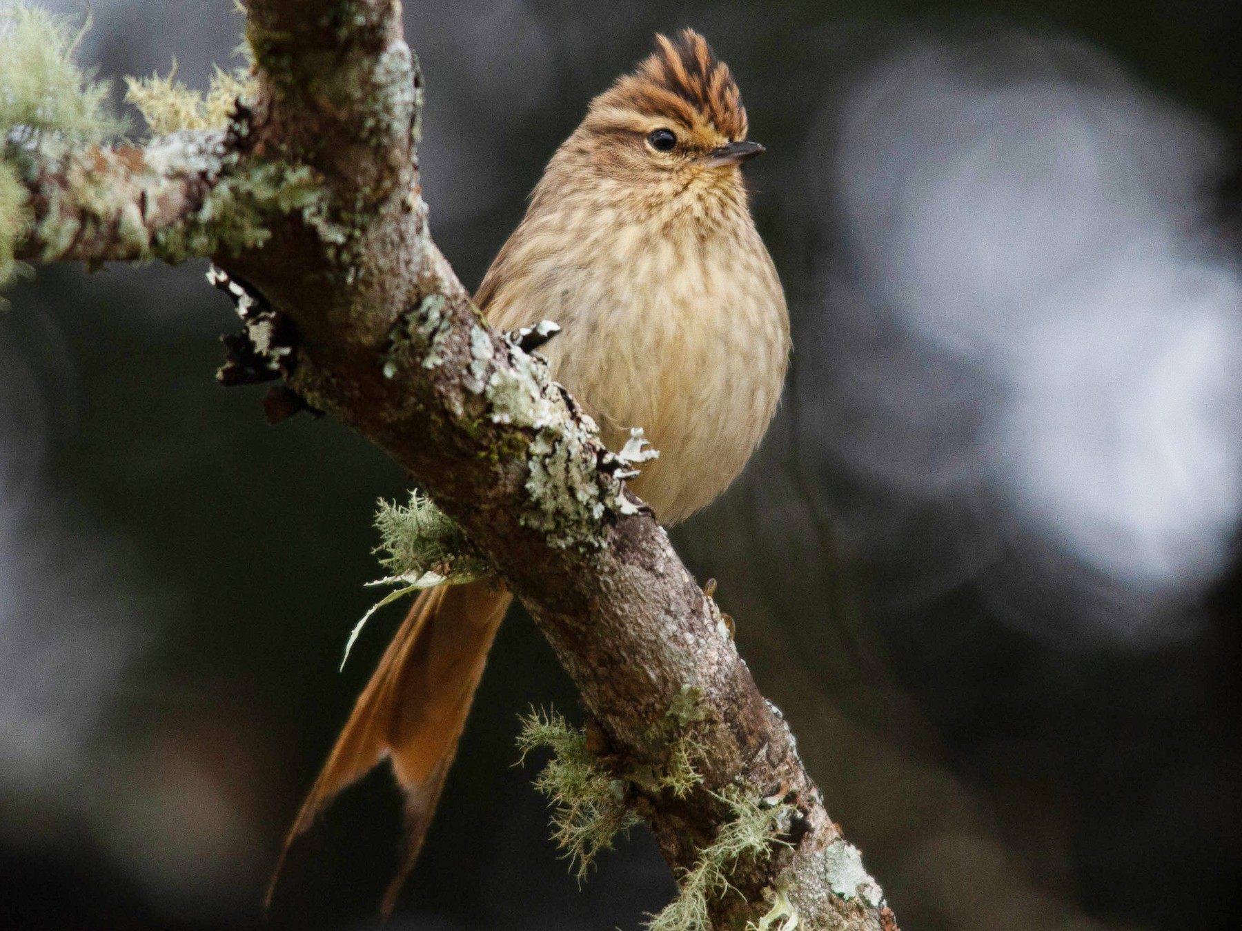 Striolated Tit-Spinetail - João Vitor Perin Andriola