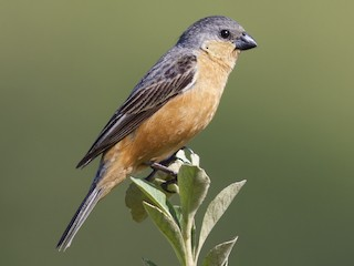 - Tawny-bellied Seedeater