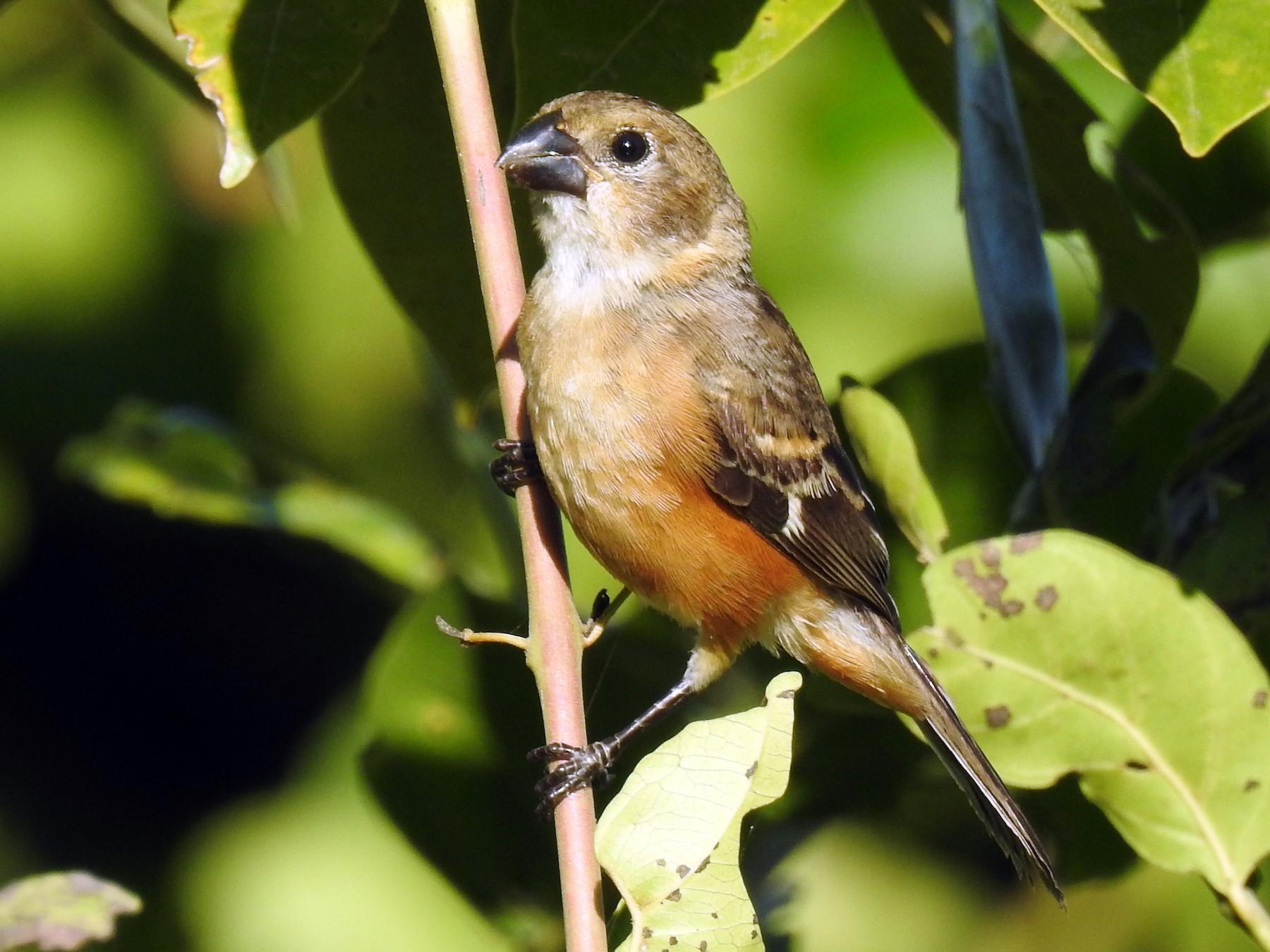 Tawny-bellied Seedeater - Ana Paula Alminhana Maciel