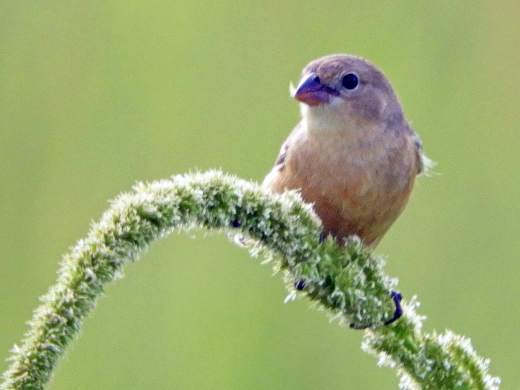 Tawny-bellied Seedeater - Silvia Enggist