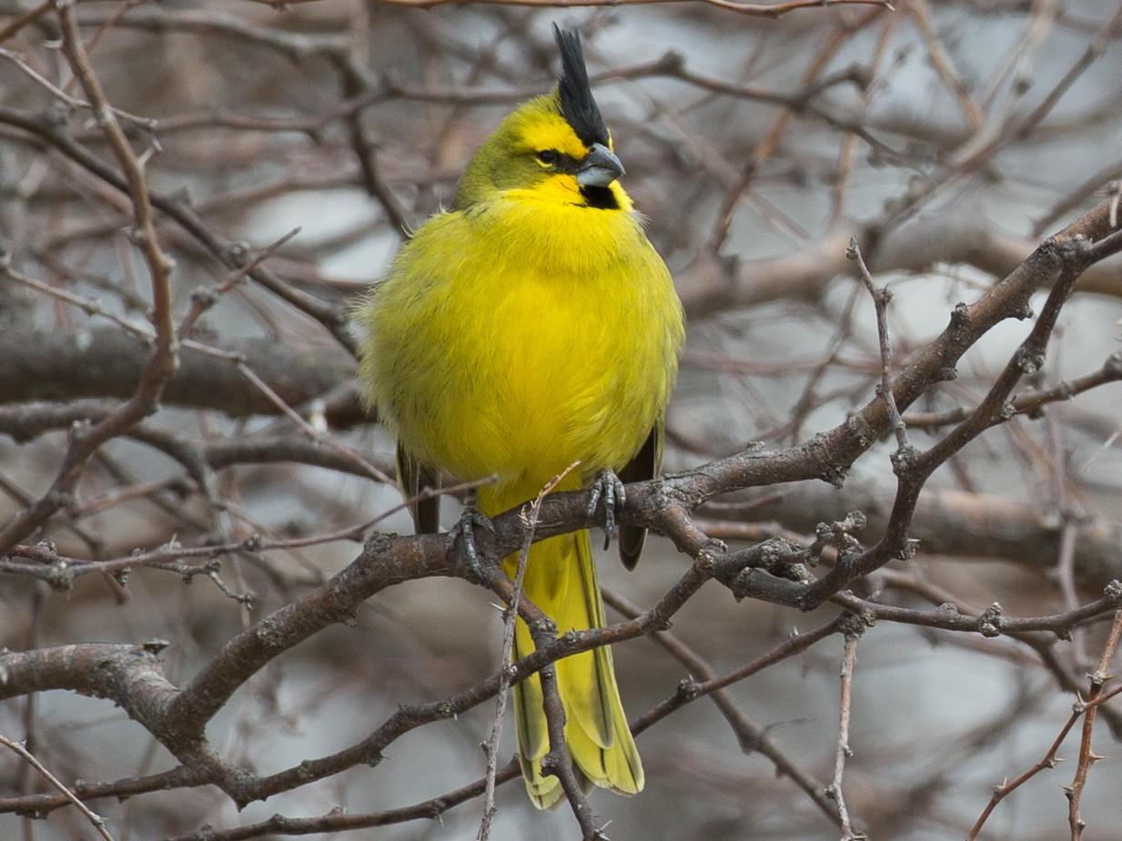 Yellow Cardinal - Chris Wood