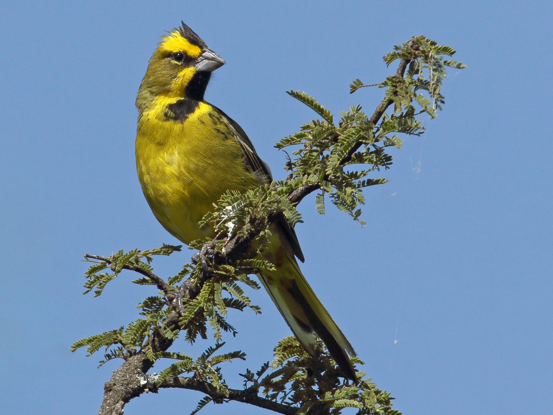 Yellow Cardinal - Martjan Lammertink