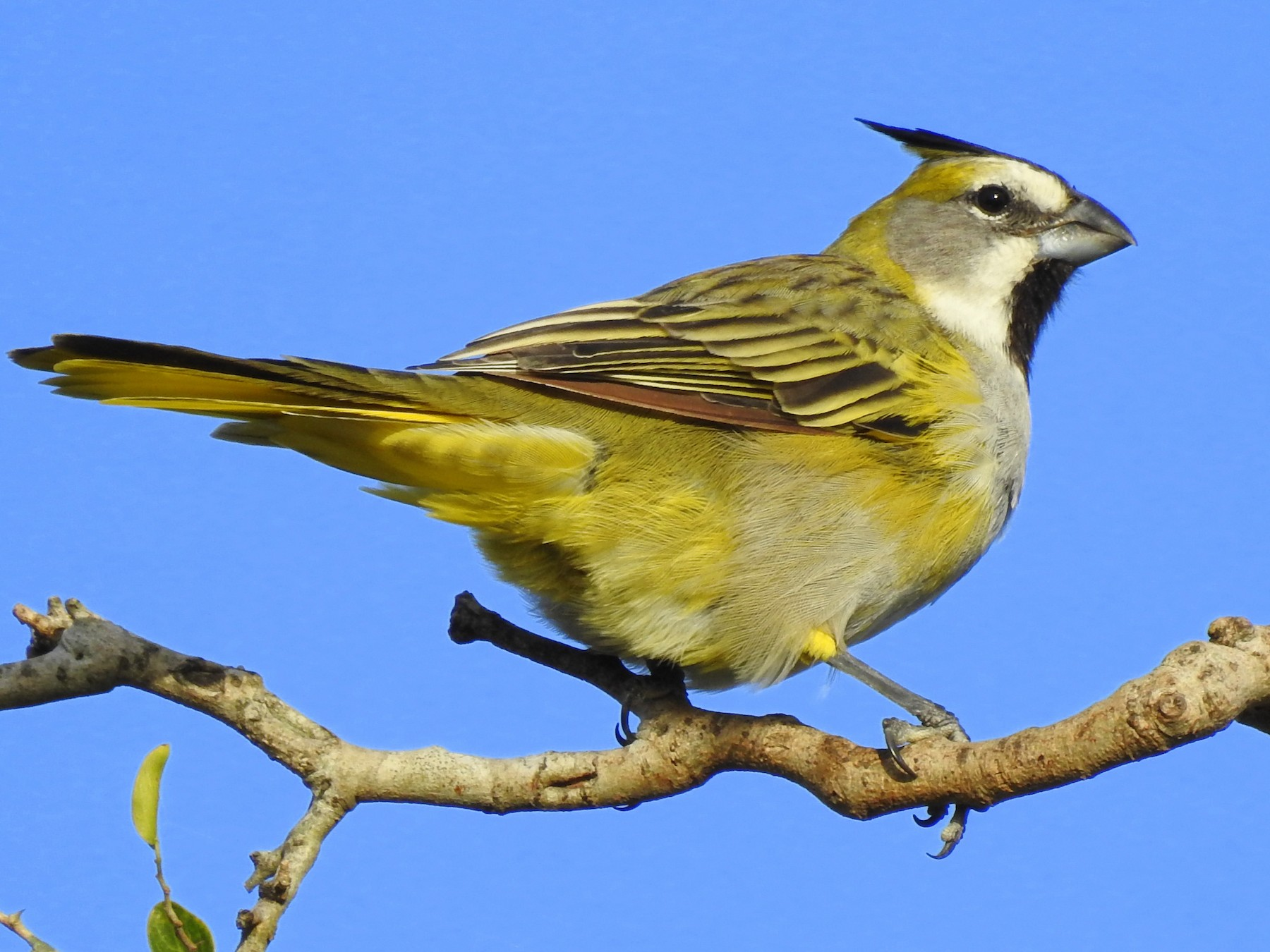Yellow Cardinal - Carlos Crocce