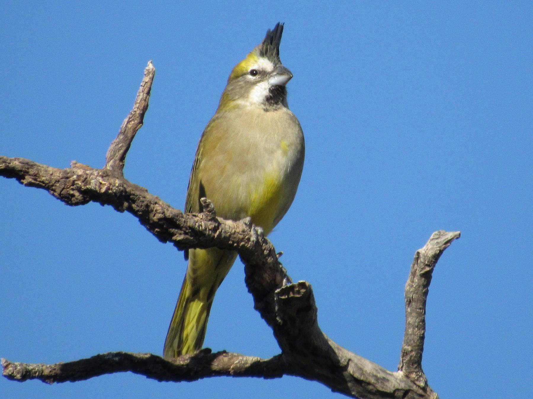 Yellow Cardinal - samuel olivieri bornand