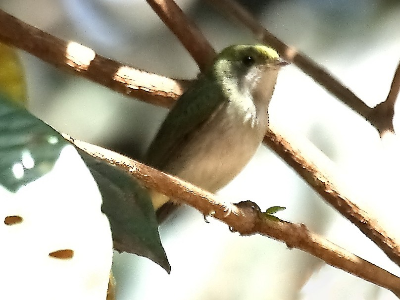 White-throated Manakin - Lorenzo Calcaño