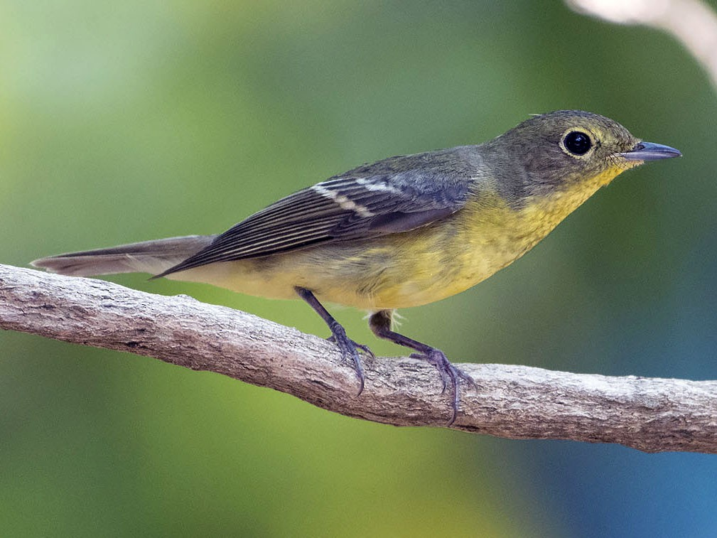 Green-backed Flycatcher - Khemthong Tonsakulrungruang