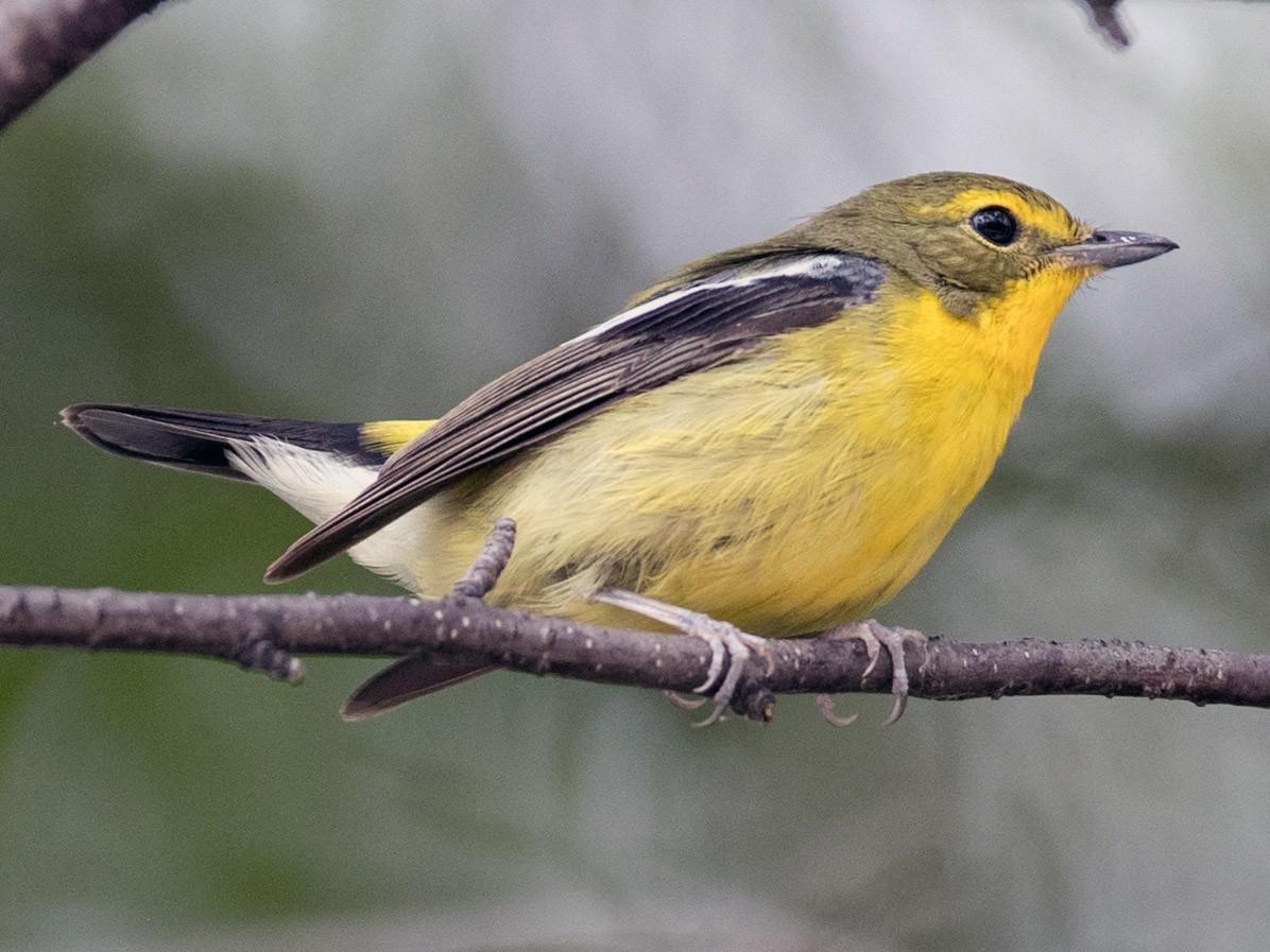 Green-backed Flycatcher - Ian Davies